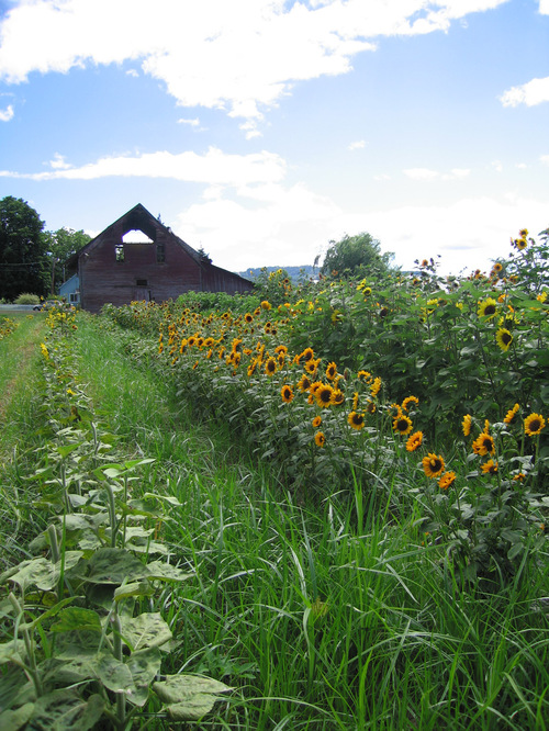 Sunflowerbarn