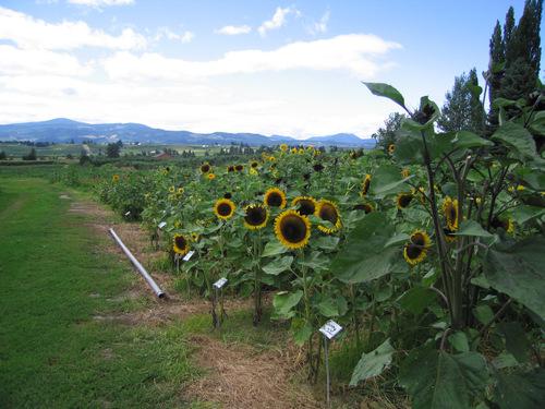 Sunflowerfiled2